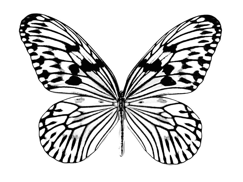 realistic butterflies coloring pages - photo#33